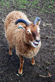 Primitive Soay Breed