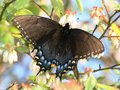 Butterfly in Blueberry Bush