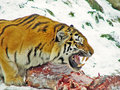 Siberian tiger eating in the snow
