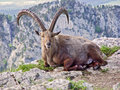 Ibex at the edge of the cliff