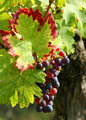 Red grapes detail