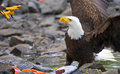 Bald Eagle with salmon dinner