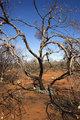 Tree in Australia