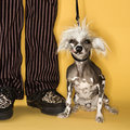 Chinese Crested dog with man.
