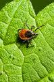 Tick on leaf. Ixodes ricinus.