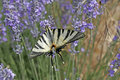 Scarce Swallowtail (Iphiclides podalirius), rare butterfly on Lavender bloom