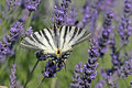 Scarce Swallowtail on Lavender Bloom, (Iphiclides podalirius), Segelfalter