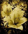 Grunge lillies