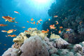 A school of Lyretail anthias (Pseudanthias squamipinnis) over a 