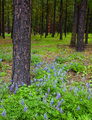 Lupine Forest