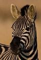 Burchells Zebra Portrait