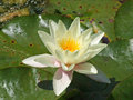 A yellow lily flower and green pads on a pond.