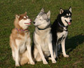 Huskies