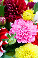 Dahlias bunch