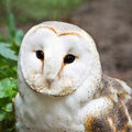 Barn owl or Church owl - square image