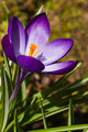 Purple spring crocus in March