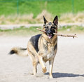 German Shepherd dog on beach