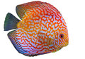 Discus