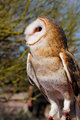 Barn owl