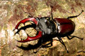 Stag beetle (Lucanus cervus)