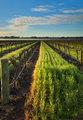 Barossa Vineyard Morning