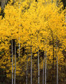 Uinta Forest Aspens 2