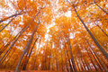 Tall autumn trees