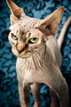 An angry looking hairless cat