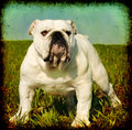 Vintage English bulldog