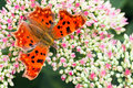 Comma butterfly on Sedum flowers in summer