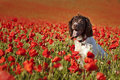 Dog on poppy fields