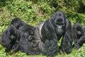 Mothering gorilla