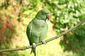 green parrot Rose-ringed indian Parakeet