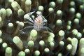 Pinhead crab