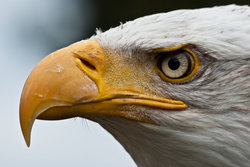 Bald Eagle Posing eye beak stare stock photo