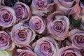 Lilac roes in close up