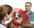 Vets putting a space collar on an Australian Shepherd in front of white background