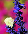 Yellow pieris brassicae butterfly on a blue flower