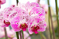 Purple butterfly orchids of the Phalaenopsis genus