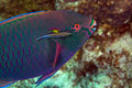 Parrotfish in de Red Sea.