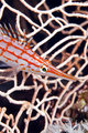 Longnose hawkfish (oxycirrhites typus) in de Red Sea.