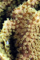 Leather coral in de Red Sea.