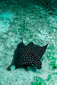 Eagle Ray