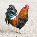 Rooster or Cockerel