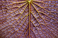 texture of Victoria lotus leaf