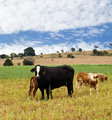 Rural scene with black cow, brown calves, blue sky and clouds 