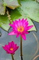 Two Pink lotus