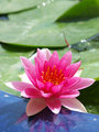 Pink water lily is blooming