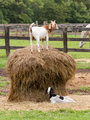 White goat on straw bale in farm field