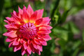 Pink Dahlia